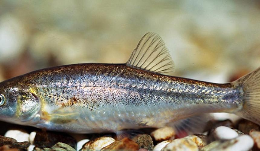 Dalmatian minnow (Phoxinellus dalmaticus): The global population of this small minnow (max 12cm) is limited to the Čikola river in southern Croatia. Three hydropower projects are foreseen directly in this river, potentially leading to the global extinction of the species. © Perica Mustafić