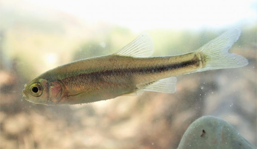 Neuentdeckung: diese Fischart, die der Wissenschaft bisher völlig unbekannt war, wurde im Bereich des geplanten Wasserkraftwerks Poçem geplant. Die Fischart ist noch namenlos © Wolfram Graf