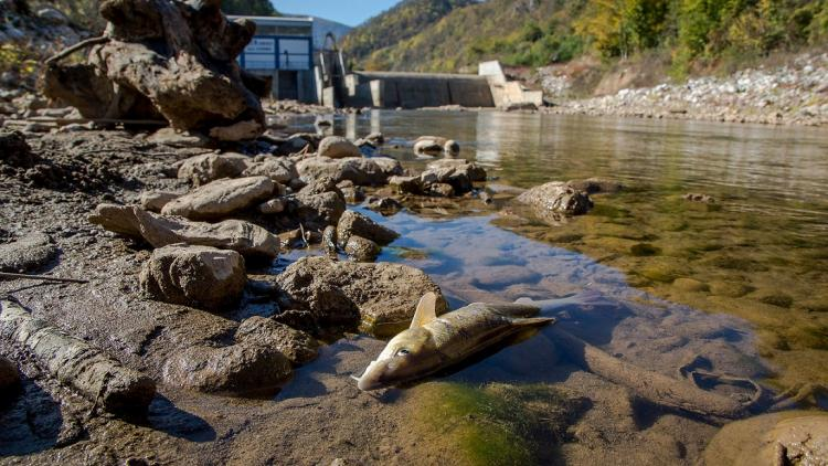 Hydropower plants, especially small hydro, are one of the main causes for the increasingly long Red Lists of fishes. If the expansion is not stopped, 186 fish species in the rivers of the Mediterranean region will be pushed further towards extinction. © Amel Emric