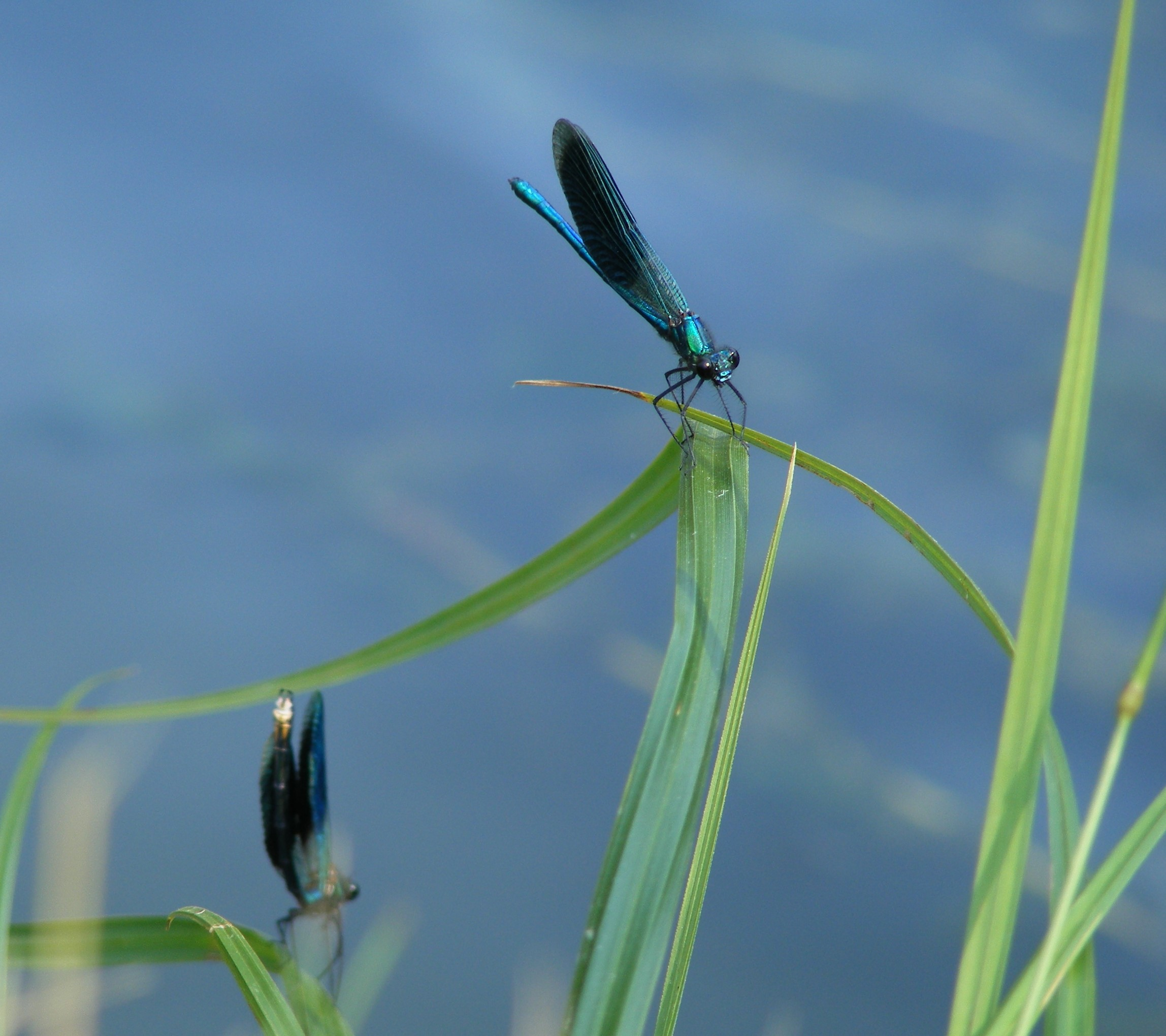 Damselflies on the Mrežnica © Pippa Gallop
